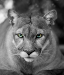Cat's Eye Panther- Black and White